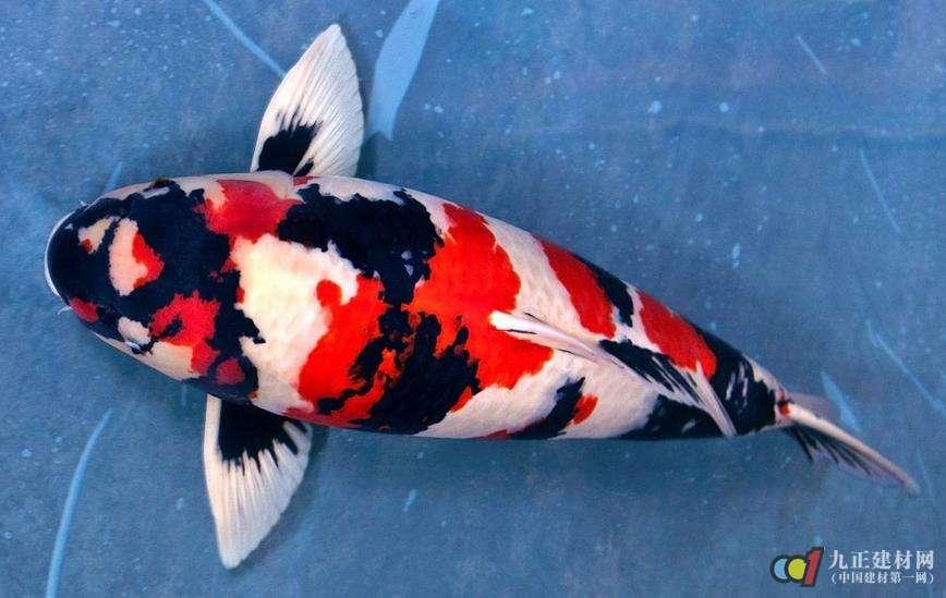 """锦鲤鱼是一种彩色鲤鱼,是红色鲤鱼的变种,在现代环境中十分普遍,人们经常用锦鲤鱼来装修家居环境。而锦鲤至今养殖有200年的历史,约有100多种种类,主要可划分为13个大类品系。 1、红白锦鲤。红白锦鲤即是锦鲤体表底色银白如雪,上镶嵌有变幻多端的红色斑纹,在清澈透明的水中遨游,在日本被认为是锦鲤的正宗。红白锦鲤是1917年由兰木五助所培育的,以全身有红点斑纹的雄性""""樱斑""""鱼与头顶有红斑纹的雌鱼交配而成。 2、大正三色锦鲤。大正三色锦鲤即是以红白种锦鲤为基本,配上点状小黑斑的锦鲤鱼。大正"""