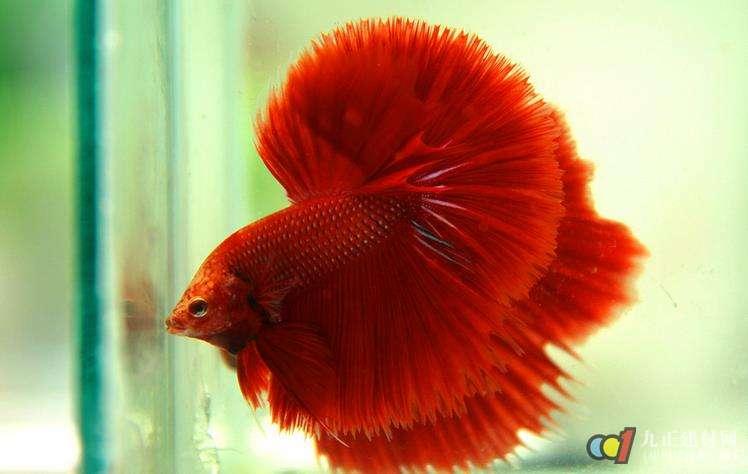 泰国斗鱼卵生。雌鱼的颜色没有雄色的鲜艳,雄鱼的背鳍、臀鳍、尾鳍比雌鱼用全长5厘米以上的做亲鱼。繁殖较容易,把繁殖用水温调到27左右,pH值7.0,硬度9~11。繁殖箱放置一层浮性水草,然后将挑好的亲鱼直接放入繁内,作为亲鱼的雌鱼一定要达到性成熟。如果雄鱼发情而雌鱼不发情,雄鱼就会追咬它,应鱼捞出,否则雌鱼会被雄鱼咬死。产卵前雄鱼先修建气泡卵巢。 产卵时,雄鱼把雌鱼驶到气泡巢下,然后用身体裹在雌鱼身上,雌鱼将卵排出雄鱼使之受精。如果卵子底部,雌雄鱼会把它们拾起,然后吐在气泡巢里。产卵完毕后只需留下雄鱼看护鱼