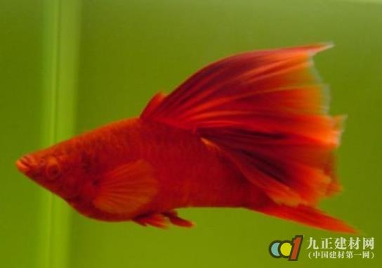 殖技术 红箭鱼怎么分公母 红箭鱼图片 生活百科 九正建材网 中国建材图片