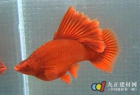 养殖技术 红箭鱼怎么分公母 红箭鱼图片 生活百科 九正建材网 中国建图片