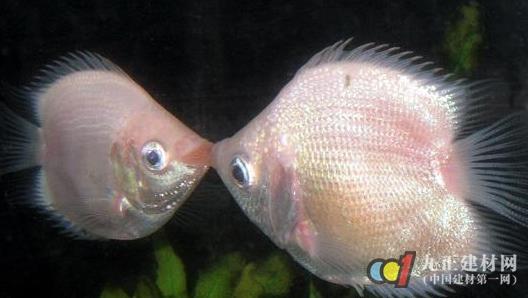 接吻鱼】 - 接吻鱼的风水作用_接吻鱼为什么会接吻_接吻鱼图片- 生活百科
