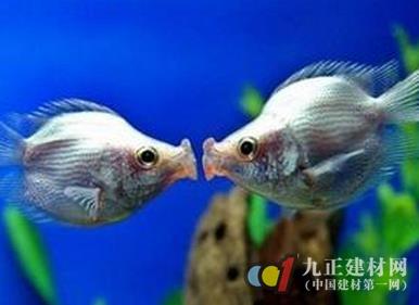 接吻鱼为什么会接吻_【接吻鱼】 - 接吻鱼的风水作用_接吻鱼为什么会接吻_接吻鱼图片 ...