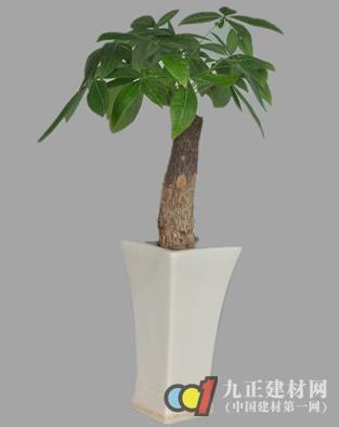 【发财树】 - 发财树如何修剪_发财树的风水作用_发财