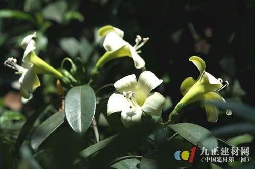 非洲茉莉掉叶子怎么办