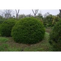 山东省最好的球类植物:青州首选球类绿化植物