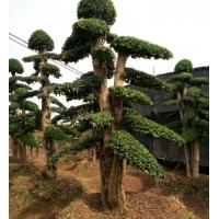 湖南造型小叶女贞 多杆小叶女贞造型 30公分小叶女贞造型树