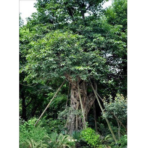 www.402.com-黄角树