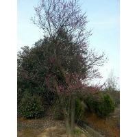 常年出售供应红梅大树红梅树30-50公分