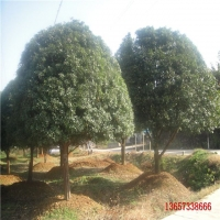 10公分桂花树价格12公分桂花树价格15公分精品桂花大树