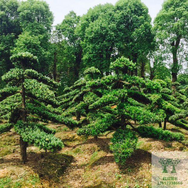 移栽骨架香樟),罗汉松苗木,造型红叶石楠,造型罗汉松,罗汉松盆景,移栽