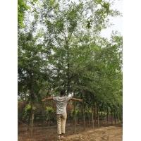 皂角树价格