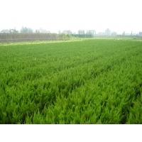 【绿化苗木出售】青州兆红苗木