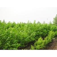 澳森园林是专业的速生榆生产商