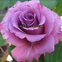 卡罗拉月季花 品种月季