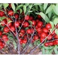 供应农大钙果苗、山西钙果苗、新品种钙果苗