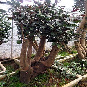 茶花古桩 油茶树嫁接山茶花全国服务中心