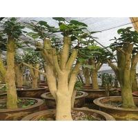 茶花树桩    油茶树嫁接茶花全国服务中心