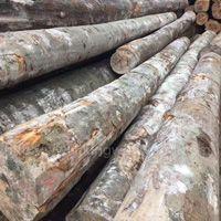 金威木业160柜现货德国榉木原木