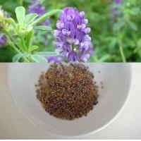 石家庄经销园林绿化草坪草籽紫花苜蓿牧草种子