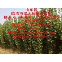107杨树苗优质杨树苗107种条