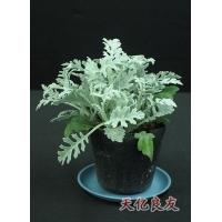 紧急出售银叶菊,银叶菊,银叶菊图片,银叶菊种子