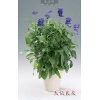 蓝花鼠尾草,鼠尾草,鼠尾草种子,鼠尾草图片,一串蓝