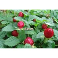 蛇莓,蛇莓基地,盆栽蛇莓,蛇莓图片,蛇莓种子