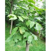 水曲柳、五角枫、桦树、柞树、云杉等绿化苗木