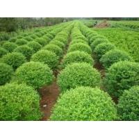 山东优质园林绿化基地