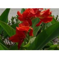 绿化草花种植-宿根花卉种植基地-山东草花种植
